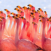 flamingo thumb
