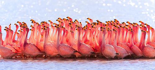 Bolivian_Flamingos_(7665636554) 500