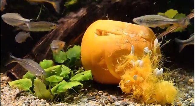 underwater pumpkin